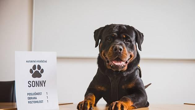Ze štěňátka policejním psem. Sonny složil zkoušky k policii. Už je z něho velký pes.