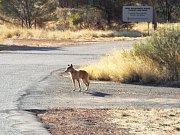 Pes dingo je jedním z běžných zjevení v přírodě.