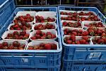 Samosběr jahod v Přelovicích je zahájen