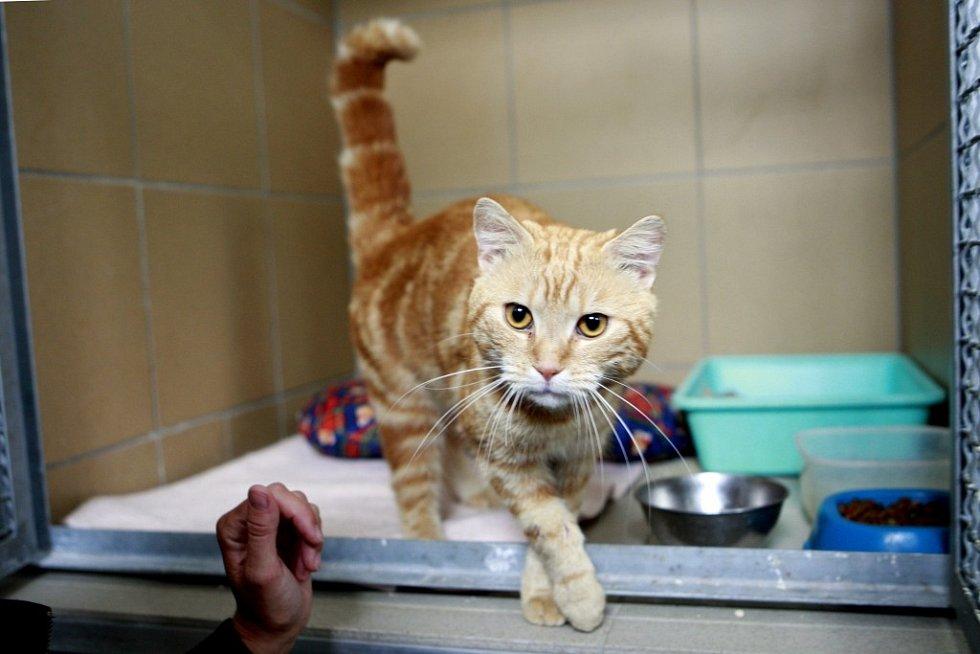 """Pracovní název tohoto asi dvouletého kocourka je """"Garfield"""". V útulku je krátce, od 14. července a léčí si zde ošklivě poraněnou přední tlapku. Je zvyklý na byt a je to obrovský mazel, kterého si prostě zamilujete."""