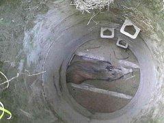 Divoké prase ze studny museli hasiči vylovit ve Starých Čívicích.