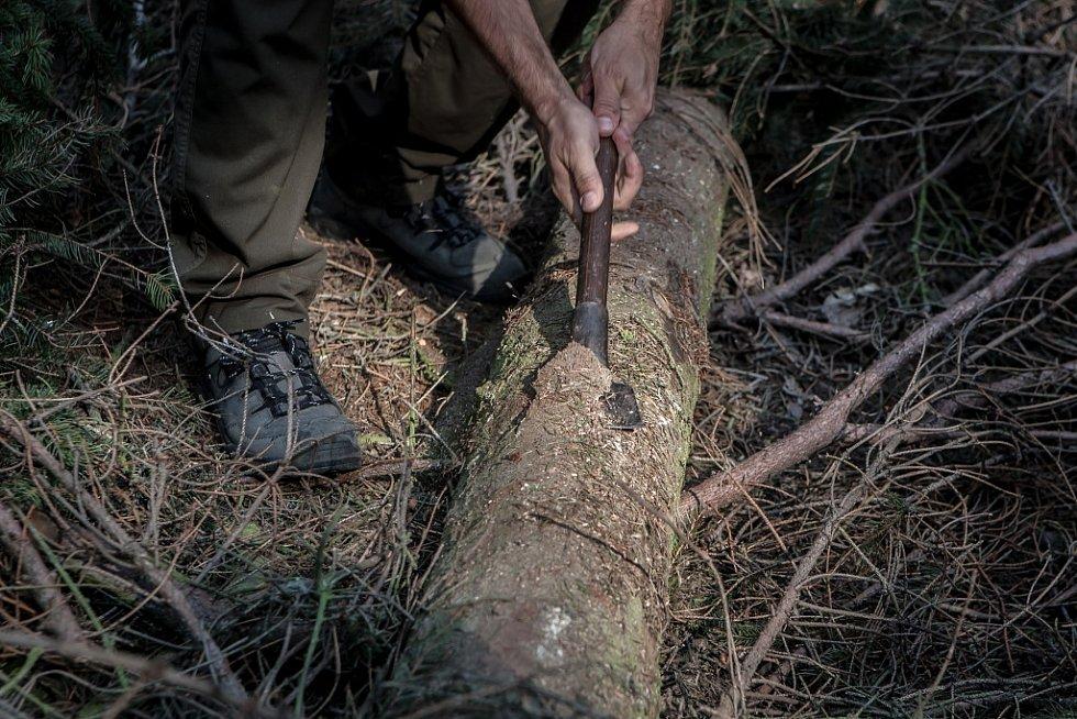 Pokácený strom je takzvaný lapák. Tím jak usychá je pro kůrovce snadnějším cílem a toho lesníci využívají.