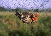 U zdymadla se dnes odpoledne koná ukázka odchytu a kroužkování ptáků.