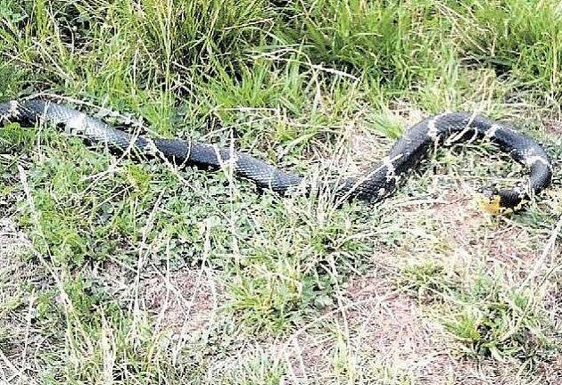 Had na snímku, pořízeném na břehu Labe u sídliště Polabiny, je relativně neškodná užovka amurská. Svým zjevem však budila nebezpečný dojem.