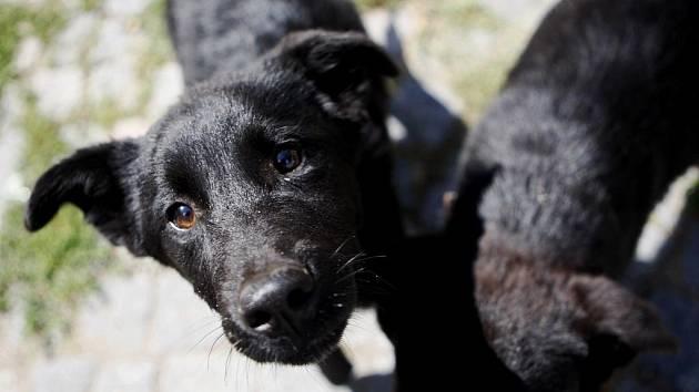 Dva psí bratři skončili 5. srpna. Přivezli je z Hlinska. Oba jsou asi půl roku staří a budou to kříženci vlčáka.