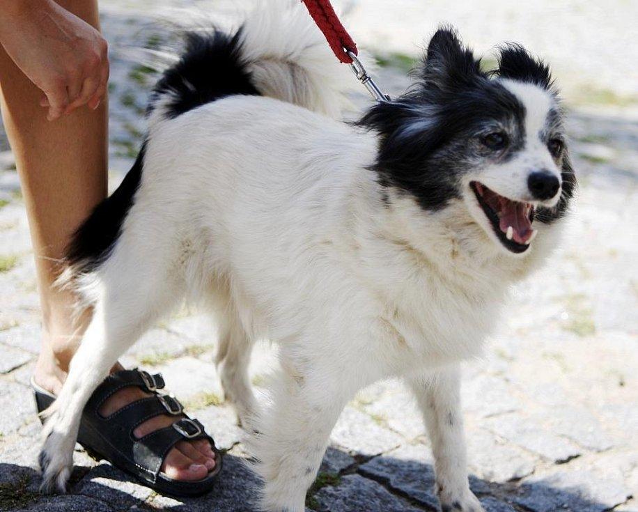 Kříženec špice, fenka, asi šestiletá, přibyla do útulku 17. června. Je čistotná a přátelská.