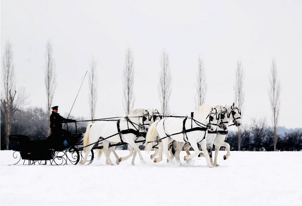 Pětispřeží starokladrubských běloušů vedené Jiřím Nesvačilem v zasněžené krajině kočárových koní v Kladrubech nad Labem.