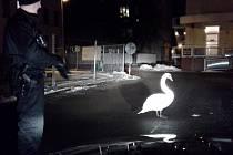 Vzpurnou labuť museli od porodnice zahánět strážníci.
