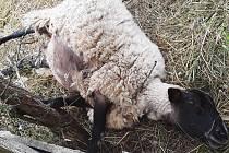 Zaseknuté ovčí kopýtko dolovali strážníci z kmene. Foto: