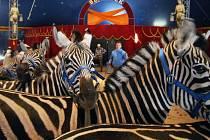 Cirkus Berousek v Pardubicích - zebry