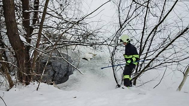 Sběr uhynulé labutě na jezírku Bajkal v Pardubicích.