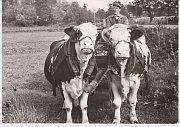 ROLNÍK. Poslední soukromě hospodařící zemědělec Emil Bolehovský spolu se svými pomocnicemi na snímku z roku 1977, jednalo se také o poslední kravský potah v Cholticích.