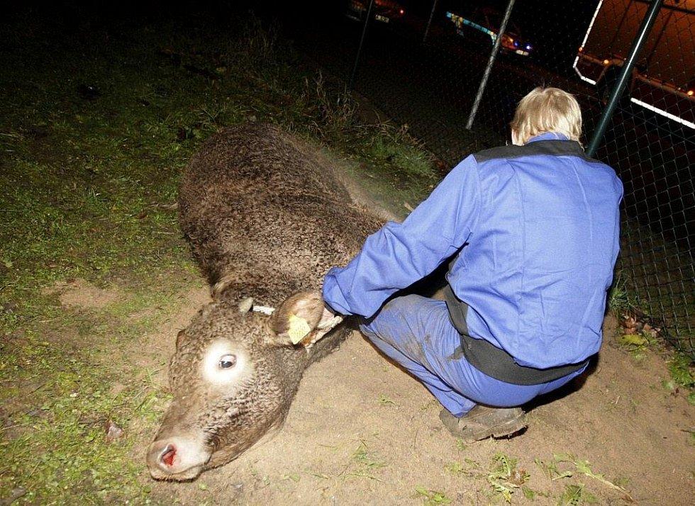 """Uprchlému teleti se podařilo z Chrudimi doputovat až do Pardubic, až tady se jej podařilo """"ulovit"""" poblíž Nemošic."""