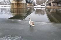 Větší nebezpečí než mráz je pro labutě lenost