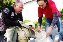 Pavel Řehoř předává zraněnou labuť záchranářům