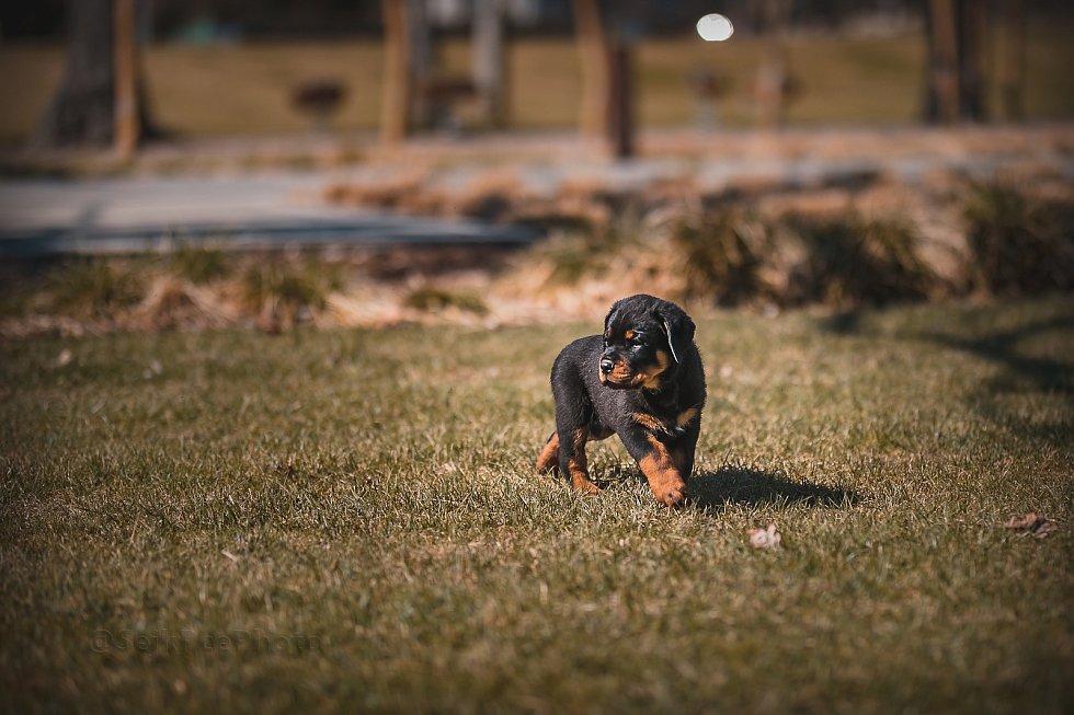 Ze štěňátka policejním psem. Sonny složil zkoušky k policii. Takto vypadal vloni v březnu.