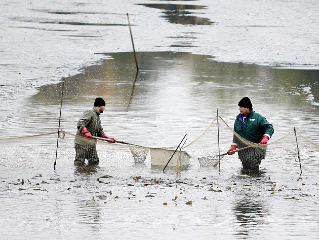 Výlov Ležáneckého rybníka v Pardubicích přilákal v sobotu několik desítek milovníků Petrova cechu. Nejvíce šel podle slov pořadatelů této akce na dračku kapr obecný a amur bílý.