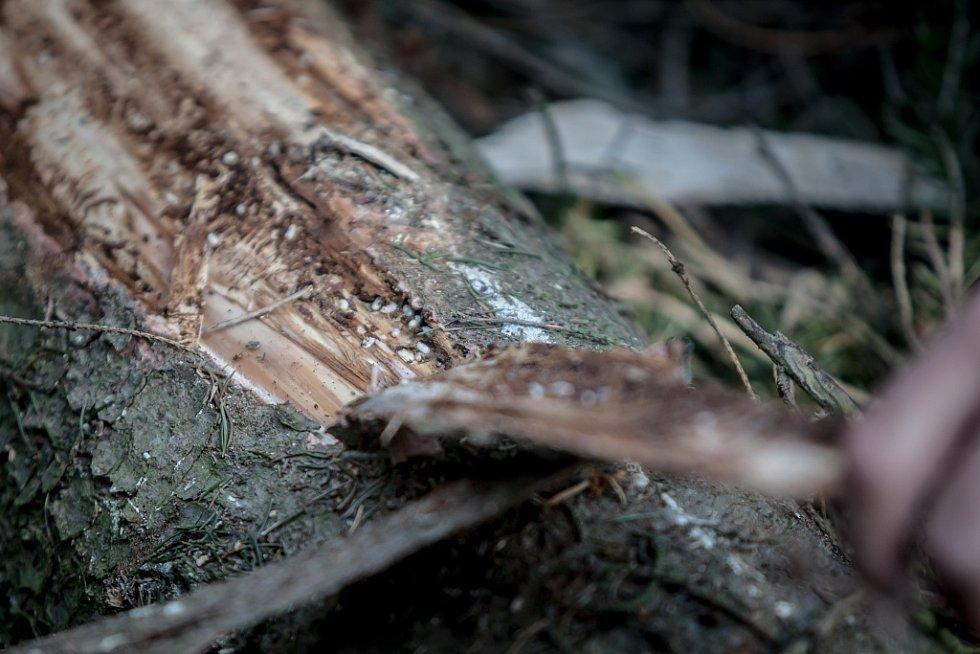 Sucho a kůrovec. Tato dvojice nyní ohrožuje české lesy. Oslabené dřeviny jsou náchylnější vůči cizopasným houbám i škůdcům. V okolí Čeperky na Pardubicku lesníci Lesů ČR ukázali, jak pomáhají lesu s tímto broukem bojovat.