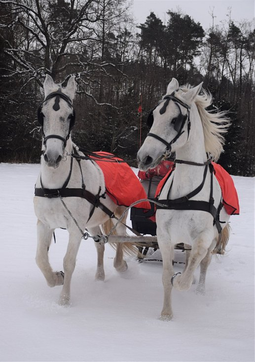 Snímek kladrubských koní paní Marie Bibrové ze Svojšic