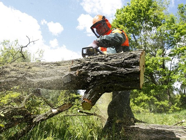 V Tyršových sadech se kácelo. Nebezpečné stromy pokáceli strážníci jako součást výcviku s motorovou pilou.