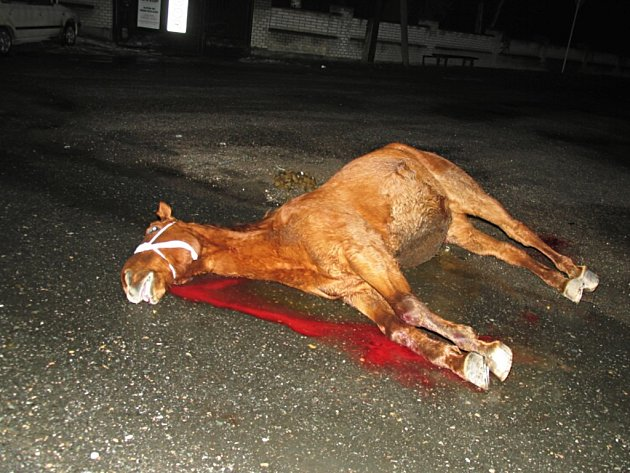 Dopravní nehoda, za kterou zaplatil životem kůň, se ve čtvrtek odehrála v blízkosti svítkovského (Pardubicko) závodního areálu.