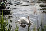 V hlavní roli tento labuťák. Ze zobáku mu kouká rybářský vlasec, kterého se nemůže zbavit.