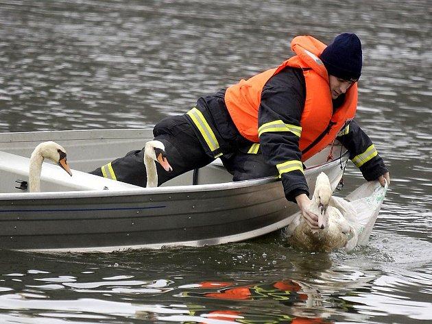 S návratem do přírody pomohli labutím kromě veterinárních záchranářů také pardubičtí hasiči