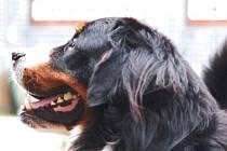 Bernský salašnický pes.