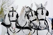 Starokladrubští bělouši v zasněžené krajině kočárových koní v Kladrubech nad Labem.