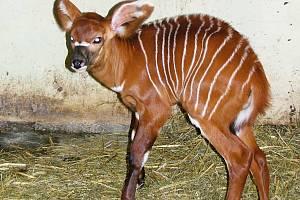První mládě ZOO ve Dvoře Králové nad Labem je Miciva. Pralesní antilopa Bongo.