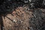 Hnědému prášku se říká drtinka a vzniká právě činností kůrovce. Jakmile se objeví v takovémto množství, strom už boj prohrál.