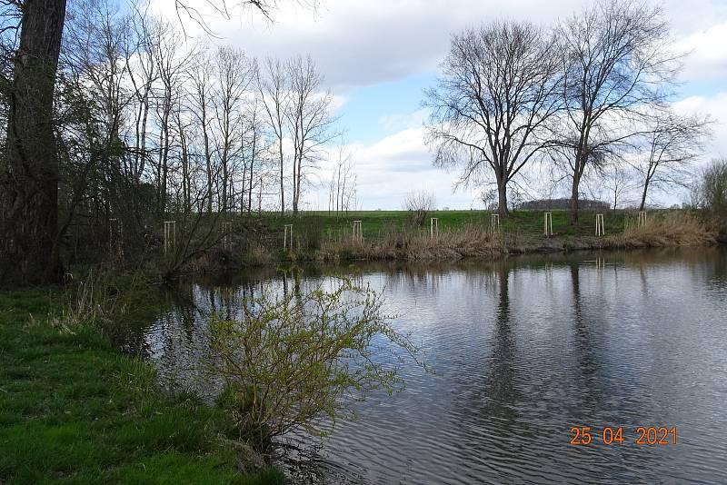 Obec nechala vysázet olše k místnímu rybníku.