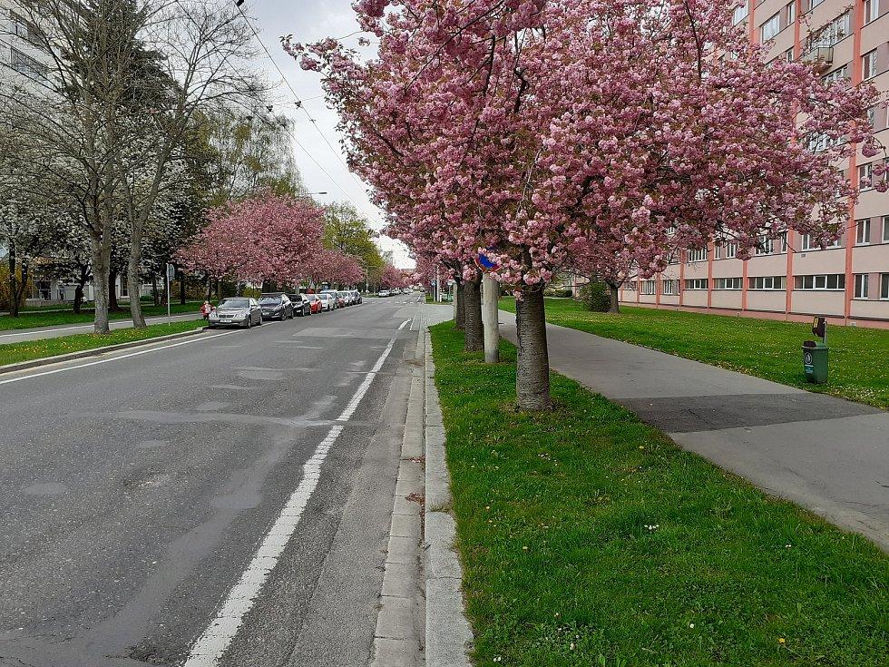 Nádherně rozkvetlé aleje růžových sakur v těchto dnech zdobí ulice v Pardubicích. Třeba ulici Kosmonautů v pardubických Polabinách dodává na pět desítek vzrostlých rozkvetlých sakur přímo japonský půvab.
