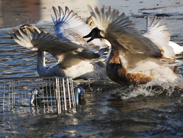 Labutí jezero s nákupním košíkem
