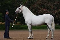 Starokladrubský kůň Rudolfo Curiosa V