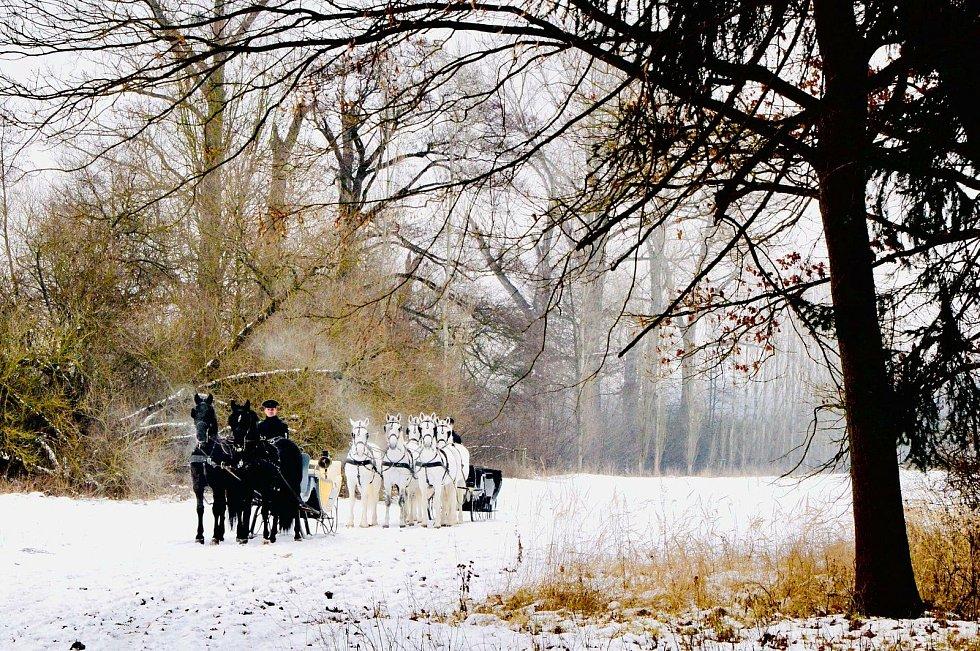 Pětispřeží starokladrubských běloušů vedené Jiřím Nesvačilem a dvojspřeží starokladrubských vraníků vedené Jakubem Mackem v zasněžené krajině kočárových koní v Kladrubech nad Labem.