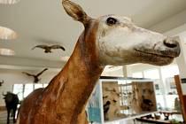 Žirafa Okapi byla do nedávna k vidění jen jako vycpanina pouze v Praze a Holicích. Ta holická ale není trofejí Emila Holuba. Pochází až z roku 1905, pražská z roku 1911.