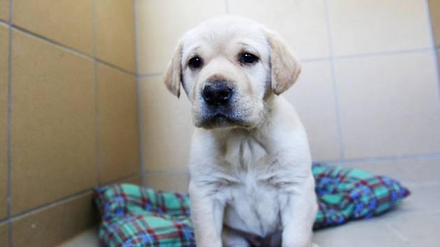 Tohle štěňátko zatím nemá jméno. Je to hravá fenečka, kříženec Labradora, a za plot útulku jej někdo přehodil. Čím dříve se jí ujme nový majitel, tím lépe.