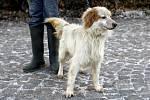 Max. Lovecký pes starý asi jeden rok se rád mazlí. Nalezen byl 2. ledna v Pardubicích.