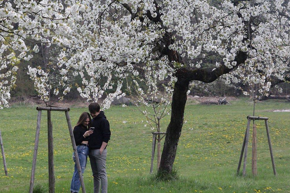 Třešně pod Kunětickou horou svůj rozkvět letos zvládly načasovat úplně ukázkově.