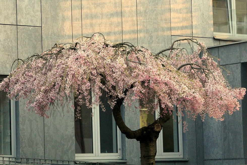 Růžová záplava sakur vTyršových sadech i mezi paneláky v Polabinách a před nádražím. I přes neobvykle  studené dubnové počasí, začaly postupně rozkvétat stromy.