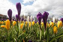 Blížící se jaro o sobě dává vědět teplým počasím. V ulicích díky tomu potěší kolemjdoucí pohled na rozkvetlé květiny.