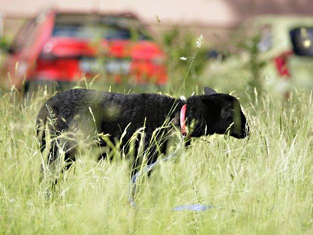 Malebný venkov? Kdepak! Pasoucí se ovci můžete potkat i v krajském městě, konkrétně na pardubickém sídlišti Dukla.