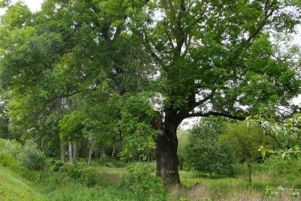 Několik stromů ustoupilo novým obchodům. Padnout má i vzrostlý jasan, který byl památným stromem. Podle aktivistů ale investor stromy kácí nelegálně.