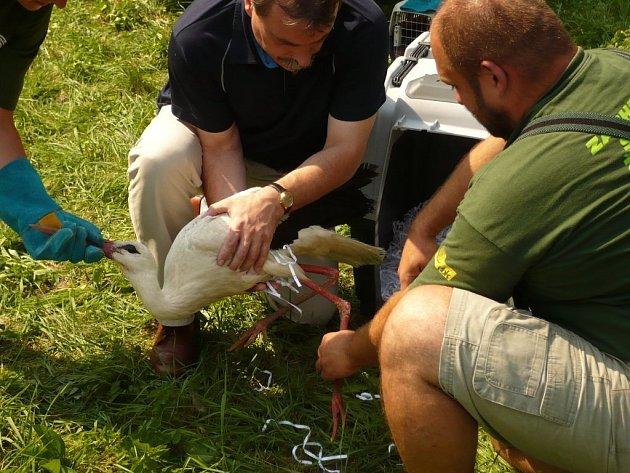 Zachráněný čáp se ve středu vrátil zpět do polí u Lázní Bohdanče