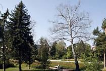 Nedostatkem vody nejvíce trpí břízy. Pokácet či ořezat by se mělo šestnáct stromů.