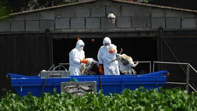 Ptačí chřipka: Likvidace krůt z areálu zemědělského družstva v Tisové