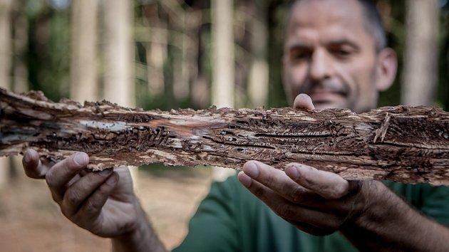 Sucho a kůrovec. Tato dvojice nyní ohrožuje české lesy. Oslabené dřeviny jsou náchylnější vůči cizopasným houbám iškůdcům. Vokolí Čeperky na Pardubicku lesníci Lesů ČR ukázali, jak pomáhají lesu stímto broukem bojovat.