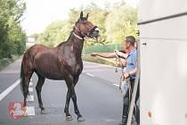 Strážníci odchytávali koně na frekventované silnici.