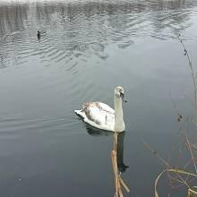 Co šéfiku? Bude chleba? Evidentně zdravá labuť opravdu není obětí ptačí chřipky.
